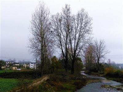 桥下的溪流声潺潺,溪流两岸银杏树叶正黄,乌桕树艳丽似火,杨树依然